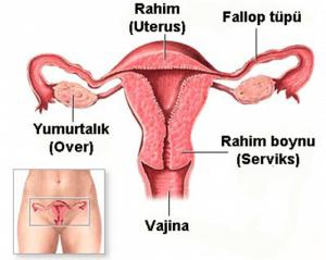 kadın üreme sistemi